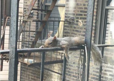 夏バテぐったりのリスが話題 猛暑のニューヨーク