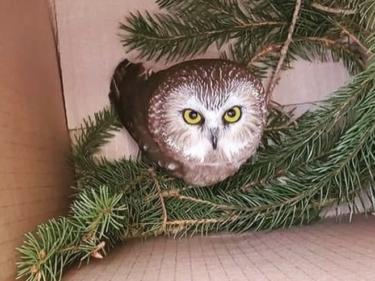 ロックフェラー・センターのクリスマスツリーの中からフクロウを保護