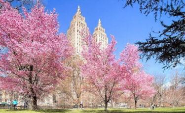 ニューヨークに桜の季節が到来